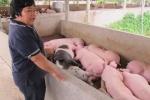 Bí quyết kiếm tiền tỷ từ chăn nuôi lợn