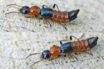 Phòng tránh kiến ba khoang cực độc