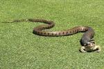 Rắn lao vào sân golf nuốt chửng ếch