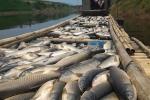 Thanh Hóa: Dân thẫn thờ vớt cá chết trắng bè đi tiêu hủy