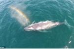 Video: Cá voi lưng gù phun nước tạo tuyệt sắc cầu vồng