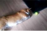 Clip về chú chó Corgi chân ngắn tũn làm tan chảy mọi trái tim