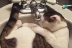 'Cười không nhặt được mồm' với những chú mèo lười nhất quả đất