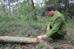 Tìm được một phần của số gỗ sưa trị giá 300 tỷ đồng
