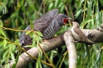 Chuyện chưa biết về loài chim có bản năng quỷ dữ
