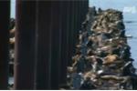 Clip: Hàng nghìn con hải cẩu chen chúc trên bờ biển