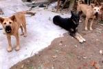 'Cơn bão' chó dại: Cuộc sống người dân đang thế nào?