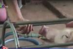 Vạch trần chiêu bơm nước vào lợn trước khi bán để tăng cân