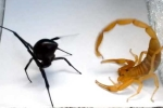Clip: Bọ cạp ác đấu nghẹt thở cùng nhện góa phụ đen và cái kết bất ngờ