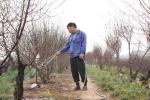 Chủ vườn dự đoán giá đào tết Giáp Ngọ
