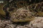Clip: Cóc giết rắn 'khủng' ngoạn mục