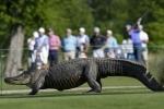 Kinh hoàng cá sấu 'khủng' thảnh thơi đi dạo trên sân golf