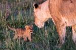 Động vật hoang dã làm nũng thú mẹ như con người
