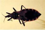 Phát hiện bọ xít hút máu người loại cực độc