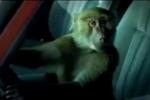 Clip: Khỉ giả chết cướp xe ôtô