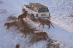 Clip: Bầy hổ Siberia xâu xé gà lôi trong công viên hoang dã