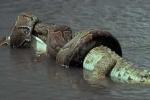 Clip: Trăn nuốt chửng cá sấu, trả thù cho đồng loại