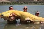 Câu được cá trê vàng khổng lồ