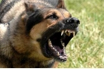 4 con chó 'Tây' hung dữ như thú săn cắn xé chủ: 'Ở thành phố nên cấm hẳn việc nuôi chó'