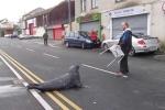 Clip: Hải cẩu 'siêu lười' bò vào nhà hàng hải sản xin ăn