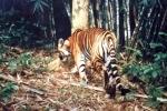 Phát hiện hổ ở Tuyên Quang: Tận mắt dấu chân, vết cào của cọp