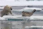 Video: Gấu trắng đói mồi phục kích vồ hải cẩu