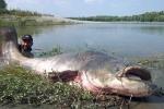 Bắt được cá trê hơn 114kg, dài 2,5m