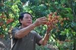 Thương lái Trung Quốc giàu to nhờ vải thiều mọc từ thân của Việt Nam