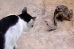 Clip: Rắn đang bị cóc ăn thịt vẫn lè lưỡi dọa mèo