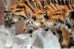 Ảnh quốc tế: Nắng đỉnh điểm, hổ dữ gặm đá thay kem
