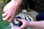 Clip: Nhổ răng sâu cho hổ bị hổ cắn tay