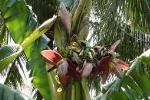 Đổ xô xem cây chuối lạ ra cùng lúc 11 bắp hoa