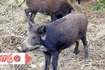 Kiếm bạc tỷ nhờ nuôi lợn rừng bằng thảo dược