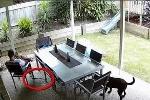 Rắn nâu cực độc trườn vào nhà, chó sủa váng cảnh báo chủ