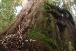 Kinh ngạc khu rừng Pơmu khổng lồ trên dãy Ngọc Linh