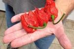 Sẽ ra sao khi ăn quả ớt cay nhất thế giới?