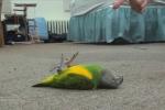 Video: Cười ngất với những màn giả chết 'đại tài' của động vật