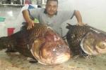 Cặp cá hô khủng 250kg được đưa từ Lào về Việt Nam