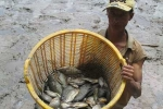 Chuyện lạ: Kênh rạch tràn ngập cá rô phi