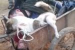 Hai cẩu tặc bị đánh tơi bời, trói cùng chó trên xe cải tiến