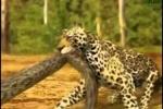Clip: Trăn anaconda tử chiến nghẹt thở cùng báo đốm