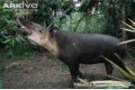 Kỳ dị loài lợn vòi đến từ thời cổ đại