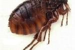 'Cái chết đen' từ bọ chét, làm sao diệt?