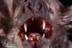 Bí mật kinh dị từ loài 'quỷ' chuyên hút máu để sống