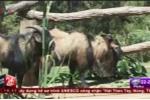 Cận cảnh đàn dê lạ giống sư tử ở Lâm Đồng