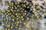 Video: Xuất hiện loài nhện vàng đang 'xâm chiếm' nước Anh