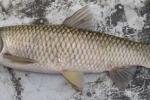 Thực hư mật cá trắm bổ dương, tăng cường sinh lý