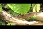 Clip: Quấn phải nhím độc, rắn khủng Anaconda quằn quại