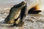 Ảnh: Cá sấu khổng lồ xé xác hà mã tí hon
