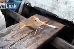 Clip cá hút thuốc lá xôn xao dân mạng